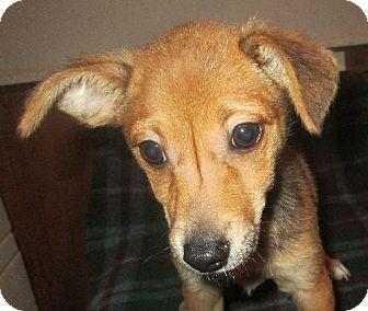 Chihuahua Mix Puppy for adoption in Waldron, Arkansas - PRINCESSA BARKLEY