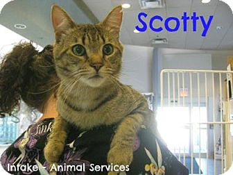 Domestic Shorthair Cat for adoption in Hamilton, Ontario - Scotty