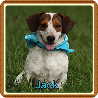 Dachshund/Terrier (Unknown Type, Small) Mix Puppy for adoption in Cranford, New Jersey - Jack