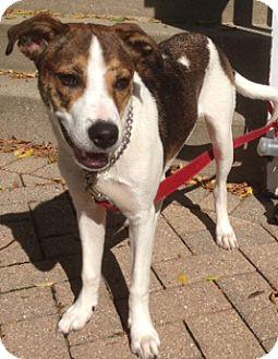 Terrier (Unknown Type, Medium)/Hound (Unknown Type) Mix Puppy for adoption in Mt. Prospect, Illinois - Madeline
