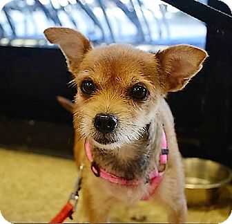 Chihuahua Mix Dog for adoption in Tavares, Florida - Pixie