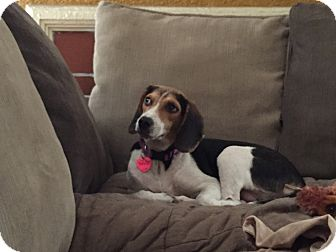 Beagle Dog for adoption in Poplarville,, Mississippi - Mouse