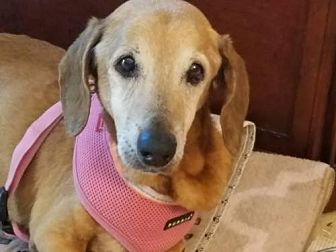Dachshund Dog for adoption in Weston, Florida - Freeway