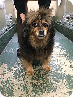 Cocker Spaniel/Dachshund Mix Dog for adoption in Rathdrum, Idaho - Peanut