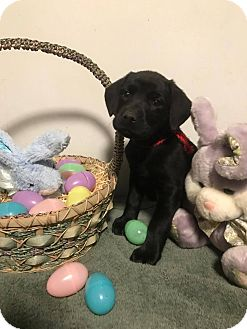 Labrador Retriever Mix Puppy for adoption in New Oxford, Pennsylvania - Skor