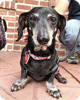 Dachshund Dog for adoption in Los Angeles, California - Aunt Rochelle