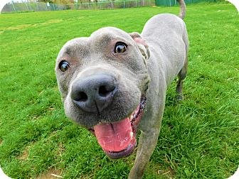 Staffordshire Bull Terrier Mix Dog for adoption in Lafayette, New Jersey - Grace