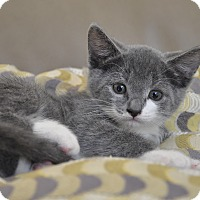 Adopt A Pet :: Dezi -Russian Blue Mix - New Smyrna Beach, FL