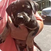 Adopt A Pet :: Achilles - Baltimore, MD