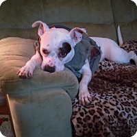 Adopt A Pet :: Piglet Marie (COURTESY POST) - Baltimore, MD