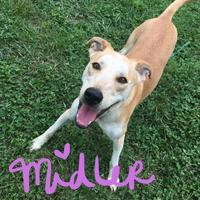 Adopt A Pet :: Middler - Greensboro, NC