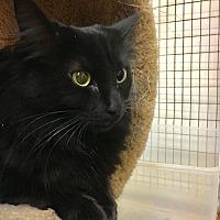 Domestic Longhair Cat for adoption in Valencia, California - Bonnie