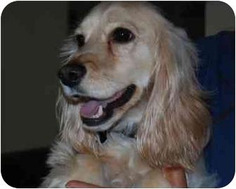 Cocker Spaniel/King Charles Spaniel Mix Dog for adoption in Coral Springs, Florida - King