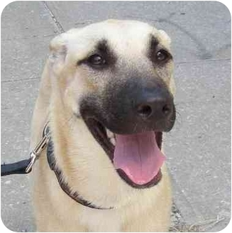 Anatolian Shepherd/Labrador Retriever Mix Dog for adoption in Brooklyn, New York - Sophie