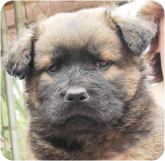 Golden Retriever/Chow Chow Mix Puppy for adoption in Poway, California - Shaina