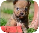 Terrier (Unknown Type, Small) Mix Puppy for adoption in New Boston, New Hampshire - BooBoo