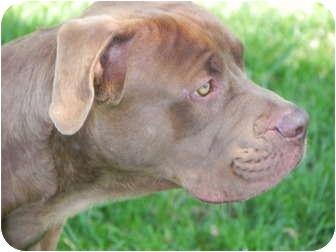 American Pit Bull Terrier/Labrador Retriever Mix Dog for adoption in El Cajon, California - Mike