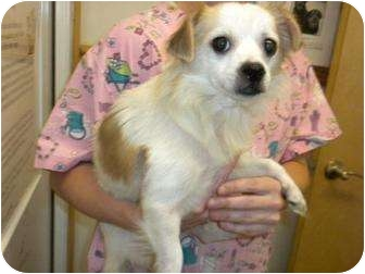 Chihuahua Mix Dog for adoption in Shelbyville, Kentucky - Sambo