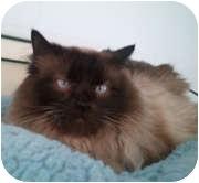 Siamese Cat for adoption in Anchorage, Alaska - Geisha