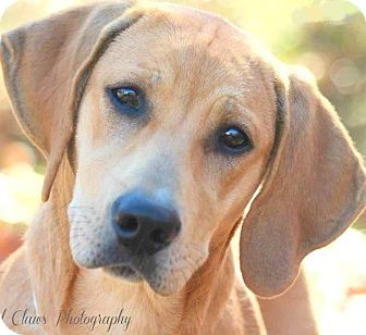 Labrador Retriever Mix Dog for adoption in Wakefield, Rhode Island - CHLOE(GORGEOUS YELLOW LAB PUP!