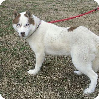 Husky Dog for adoption in Ridgely, Maryland - Thor