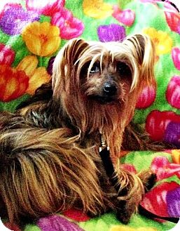Silky Terrier Dog for adoption in Conway, Arkansas - Saffy