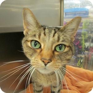 Domestic Shorthair Cat for adoption in Gilbert, Arizona - Mickey