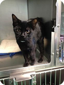 Domestic Shorthair Cat for adoption in South Haven, Michigan - Midnight