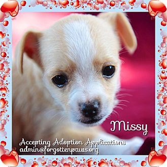 Dachshund/Chihuahua Mix Puppy for adoption in San Marcos, California - Valentine's Day Puppies