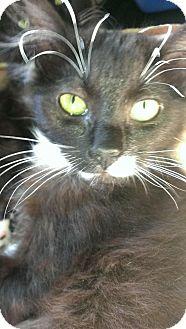 Domestic Mediumhair Kitten for adoption in Voorhees, New Jersey - Killian-PetValu