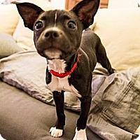 Adopt A Pet :: Kiwi - Minneapolis, MN