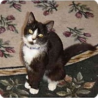 Adopt A Pet :: Velvet - Chesapeake, VA
