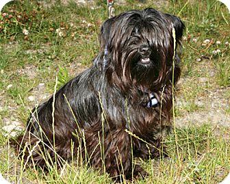 Terrier (Unknown Type, Medium) Mix Puppy for adoption in Bellingham, Washington - Hoss