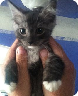 Maine Coon Kitten for adoption in Cerritos, California - Flannel