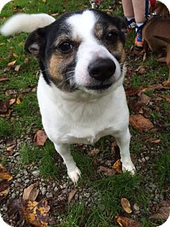 Jack Russell Terrier Mix Dog for adoption in Monroe, Michigan - Rosie
