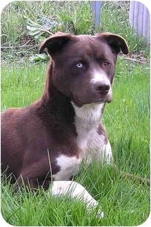 Labrador Retriever/Husky Mix Dog for adoption in Sheboygan, Wisconsin - Bear