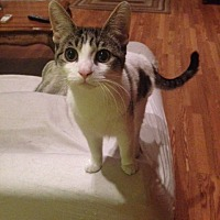 Domestic Shorthair Kitten for adoption in Brooklyn, New York - Honeybun