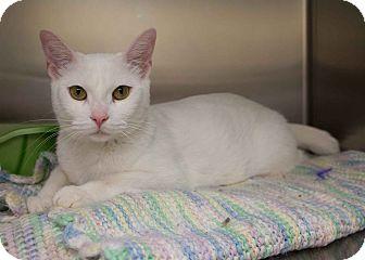 Domestic Shorthair Cat for adoption in Toronto, Ontario - Aubry