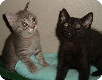 Domestic Shorthair Kitten for adoption in Farmington, Arkansas - Fritz