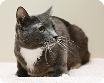 Domestic Shorthair Cat for adoption in Bellingham, Washington - Catherine