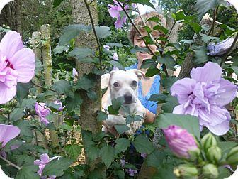 Chihuahua/Dachshund Mix Dog for adoption in Glastonbury, Connecticut - Bobbi - courtesy