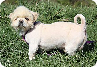 Pekingese Mix Dog for adoption in Marietta, Ohio - Pugsy