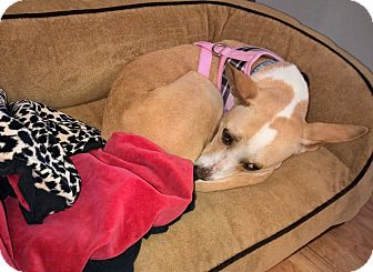 Corgi Mix Dog for adoption in Chicago, Illinois - Princess