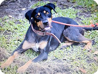 Rottweiler Mix Puppy for adoption in Holiday, Florida - Macy