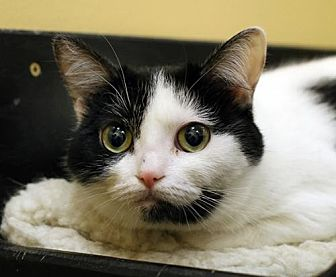 Domestic Shorthair Cat for adoption in Overland Park, Kansas - River