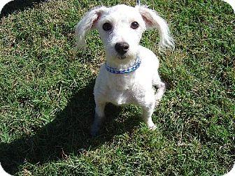 Poodle (Miniature)/Miniature Schnauzer Mix Dog for adoption in Texarkana, Texas - Ringo ADOPTED TX