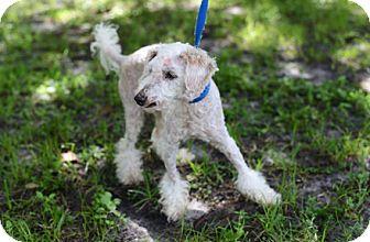 Poodle (Miniature) Dog for adoption in Jupiter, Florida - Pooh
