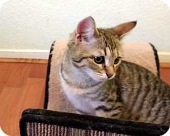 Domestic Shorthair Kitten for adoption in Las Vegas, Nevada - Goldie