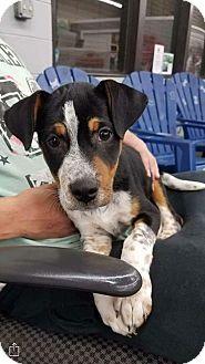 Blue Heeler Mix Puppy for adoption in Plainfield, Illinois - Beaker