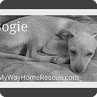 Adopt A Pet :: Bogie - Henderson, NV